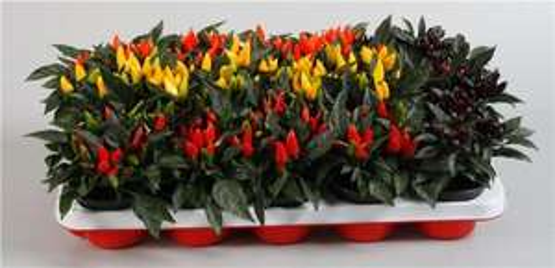 cheap capsicum salsa Chilli Plants £1 (poundland) various colours