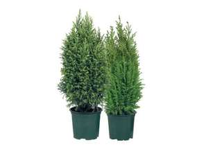 Elwoodii, Ellwood's Empire or Snow White Conifers from Thursday at Lidl for £1.29 or 5 for £5.