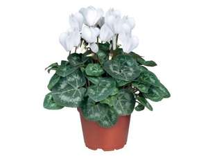 POTTED British Cyclamen £1.99 lidl