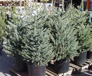 4ft christmas tree £3 at Morrisons