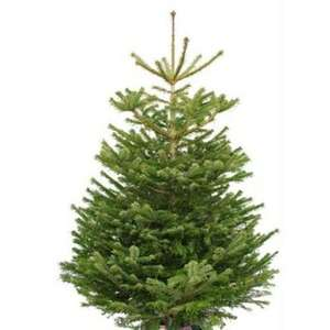 Nordmann cut Real Christmas trees £11.99 @ Home Bargains stores (6ft)