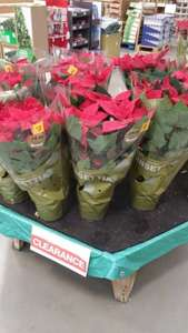 Poinsettia £1 or £2 @ B&Q Milton Keynes