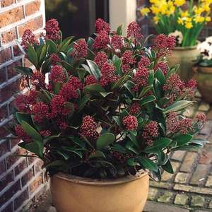 Skimmia japonica Rubella Shrub £1.99 RRP £6.99 + FREE Echinacea purpurea Collection worth £7.99 with every order (Postage £3.99) @ J Parker Bulbs