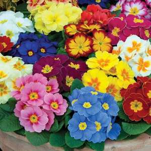 Morrison plant of the week is a potted Primrose for the budget bargain price of 50p