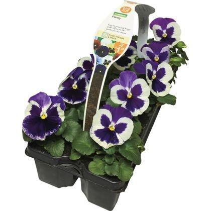 10 Pack Viola or 10 Pack Pansy £1.50 at Homebase (Half Price)