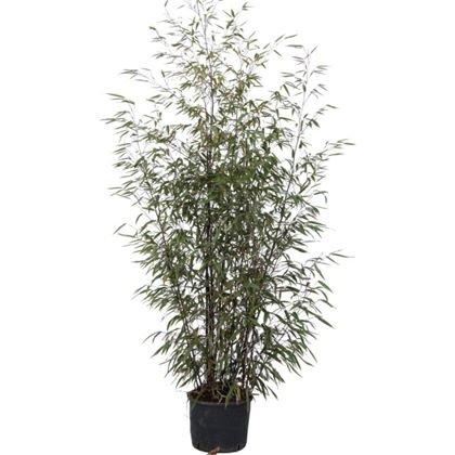 Half price Bamboo £25 at Homebase