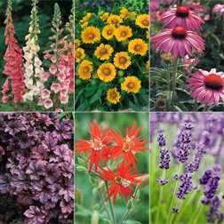36 perennial plants for 36p.. plus P and P - £5.31 thompson & morgan
