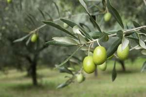 Two olive trees for twenty pounds @ Asda