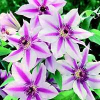 Clematis Plants £4.97 down from £12 Homebase Instore