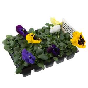 20 pack Pansy plants now only £1.50 at B&M's