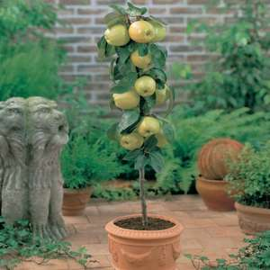 Free Dwarf Apple Tree (potted plant), Just pay postage £5.65 @ Thompson & Morgan