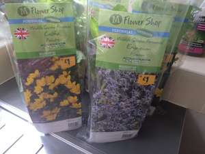 Perennial Plants (Large) Morrisons £1.00 (Instore Only)