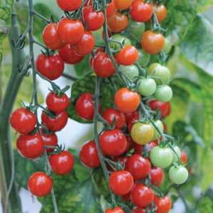 Free 6 x cherry tomato plants Sweet Aperitif just pay for postage £3.20 @ Thompson & morgan