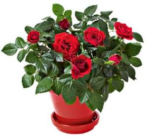 Miniature rose bushes, Morrisons plant of the week, plenty of colours,  now only £1.34