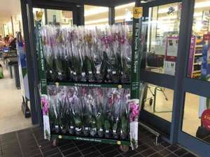 Orchids only £5 each @ Wilko