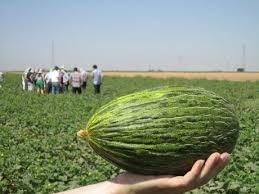 Piel De Sapo Melon - £1 @ tesco