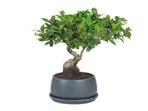 Bonsai Tree in Ceramic Pot £9.99 @ Lidl