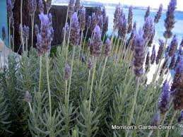 French Lavender plants £2.00 each at Morrisons