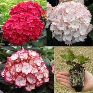 3 Mixed 'Lost label' Hydrangeas in 7cm pots for £5.65 delivered from Park Promotions