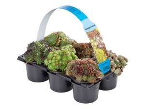 6 Pack of succulents £4.49 @ LIDL