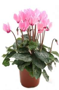 Cyclamen potted plant of the week 64p from Morrisons half price