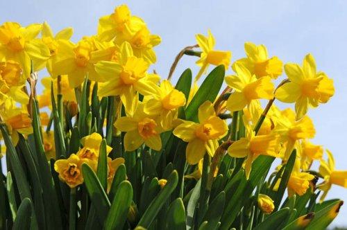 100 Daffodil Bulbs 'Tete A Tete' Species Narcissi, golden. Bulk Bulbs £8.75 delivered @ bunkershillgardenshopoxford Ebay