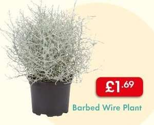 Barbed Wire Plant £1.69 - Outdoor - Useful for many locations (Especially the South Coast) - LIDL Autumn Flower Market - Also available: Gaultheria (With rED BALLS)