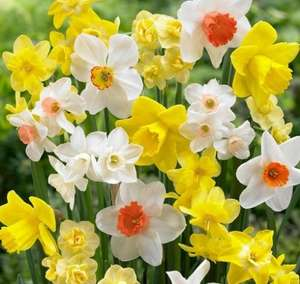 Free Daffodil bulbs, help save at risk historic varieties - English Heritage - Free