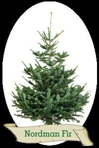 5ft Nordman Fir REAL christmas tree £15 instore only @ B&Q