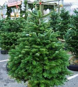 THE BEST XMAS TREE! THE ONE WITH GREEN GLOSSY NEEDLES THAT DON'T DROP! Grow your own Nordmann Fir (Abies nordmanniana) bare rooted from £0.95 each £24.70 for 10 but they get cheaper the more you buy @ Jackson's Nurseries (£6.99 delivery)