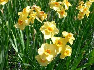 B&Q Daffodil large bag of 3kg in store only