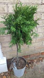 standard conifer in Christmas pot. priced at £15 scanned at 10p at Tesco 8 instore
