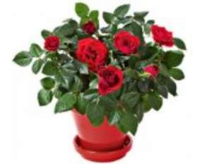 Morrisons plant of the week , miniature rose plant, only