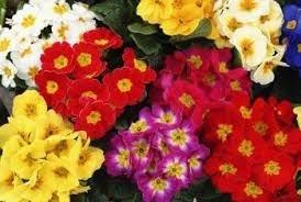 Primrose Plants 7cm pot 50p each @ Morrisons Instore