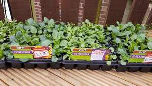 20 pack of pansy or viola plants reduced £1.00 at B&M