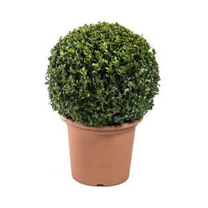 Buxus Ball Topiary Plant in Terracotta Planter - Small £4.86 @ Homebase