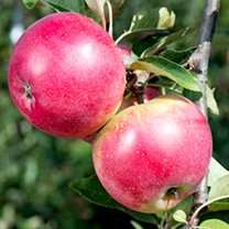 Various fruit trees 75% off was £29.99 now £5 and 10% code + quidco sutton seeds £5 delivery