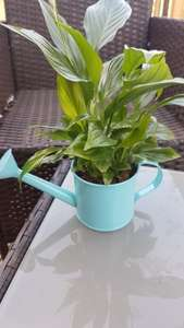 Asda Easter Flower in Watering Can Reduced £1.00 in Store