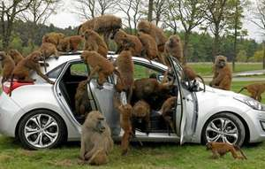 Knowsley Safari Park (1 Day Special Offer...only £15 per car)