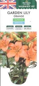 Garden Lily - Plant of the Week - Half Price - 3 bulbs sprouting in a pot for £1 - MORRISONS - In Store only