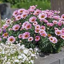 Bedding plants 50% and 70% off. @ Fothergill's (P&P £4.95 or free over £45)