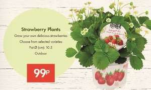 Strawberry Plants - 99p -10.5cm Pot - LIDL
