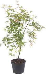 Japanese maple Acer plants in lidl just £6.49