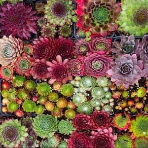 6 Hardy Succulents £9.97 free delivery @ Gardening Express