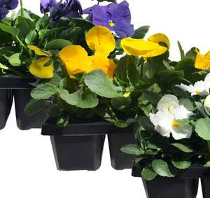 Autumn Pansy and Viola Mixed Bedding Plants Jumbo Pack (Pack of 6) for £1 @ Homebase