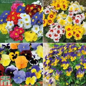 72 Winter Bedding Plants £7.94 Delivered  -  Thompson & Morgan