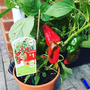 Clearance on outdoor plants instore @ B&Q - sweet pepper plant was £10 reduced to £1 and many more