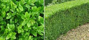 Buxus Box Hedges reduced to £2.90 at Tesco Havant!
