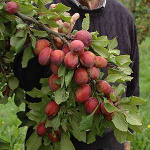 Mini Orchard Collection - 3 Bare Root Fruit Trees 1.4M tall £22.49 @amazon.co.uk