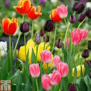 32 Tulip Bulbs £5.27 delivered @ Thompson & Morgan